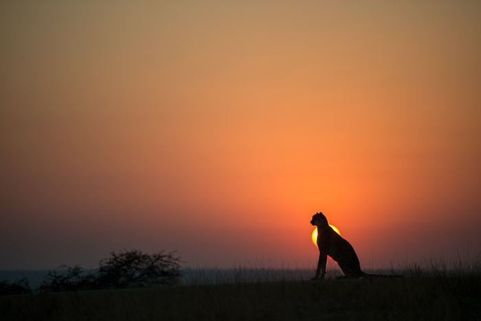 A silhouette of a female cheetah with the rising sun. This photograph was the taken on the 1st of August, a great way to begin the month. We love how Mike has captured the cheetah so perfectly in line with the sun and with the cheetah looking off into the distance. Photograph by: Mike Sutherland.