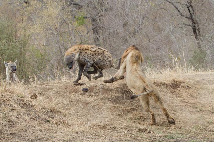 Incredible Lions vs Hyenas |Londolozi Blog
