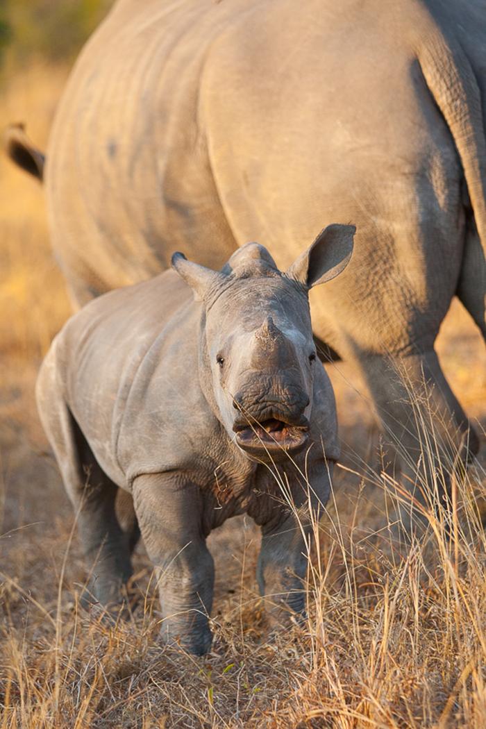 rhino calf b