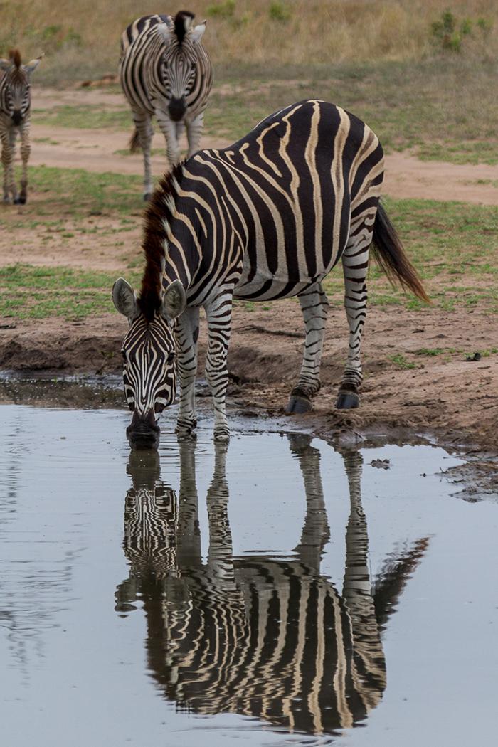 Zebra Mike