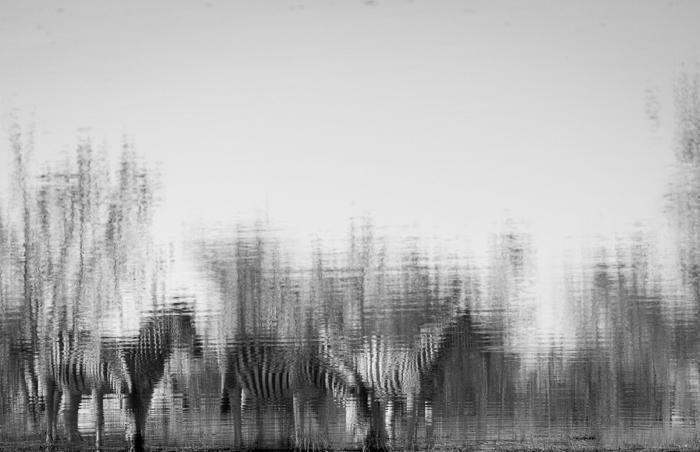 Zebra Andrea