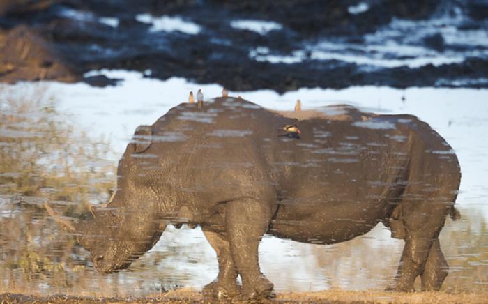 rhino reflection Trevor
