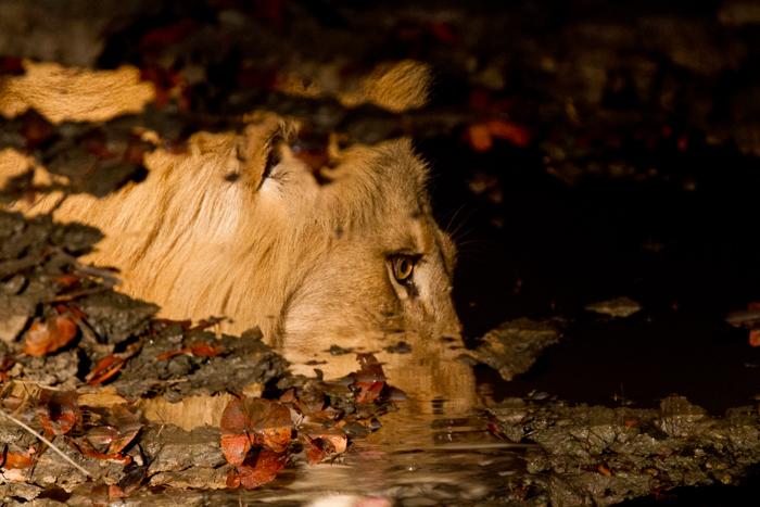 male lion andrea