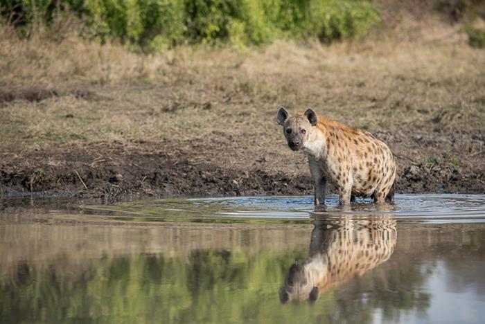 Hyena Mike