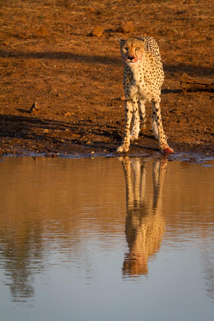 cheetah andrea
