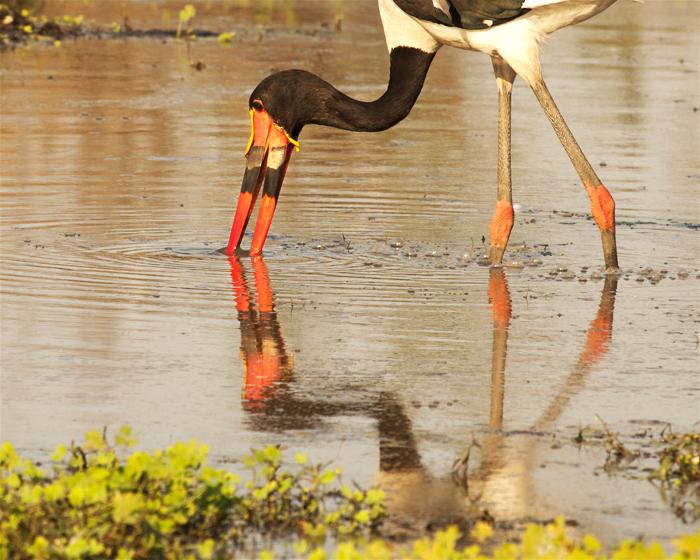 sadldle billed stork