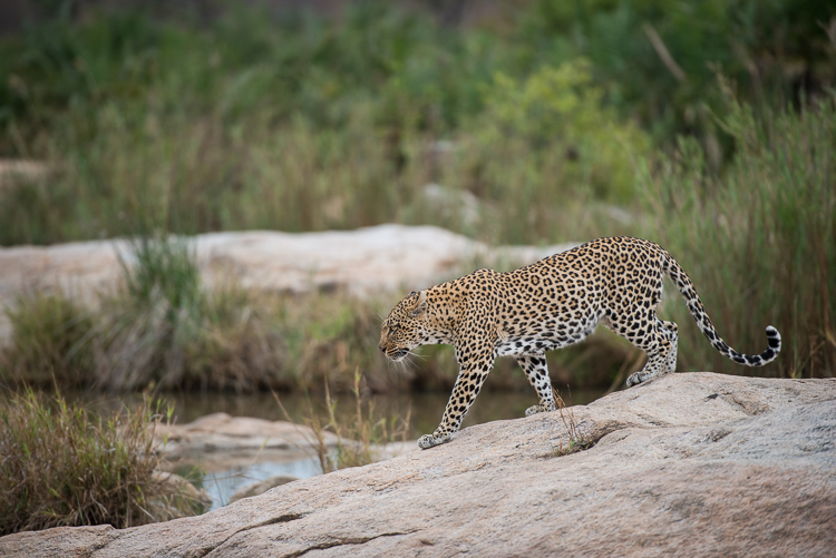 A long sought after photograph of a leopard walking over a beautiful granite rock.