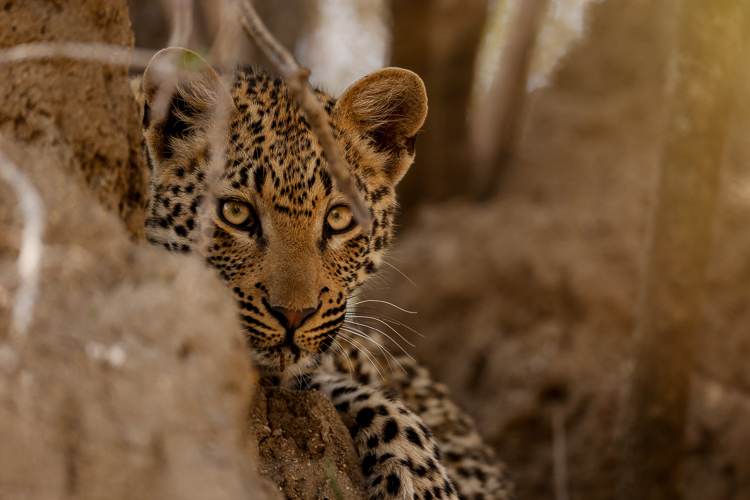 A young cub of the Maliliwane female seeks refuge on a termite mound as her mothers leave to hunt.