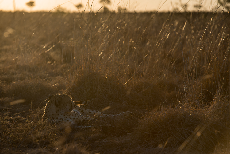 A cheetah in the fading light.