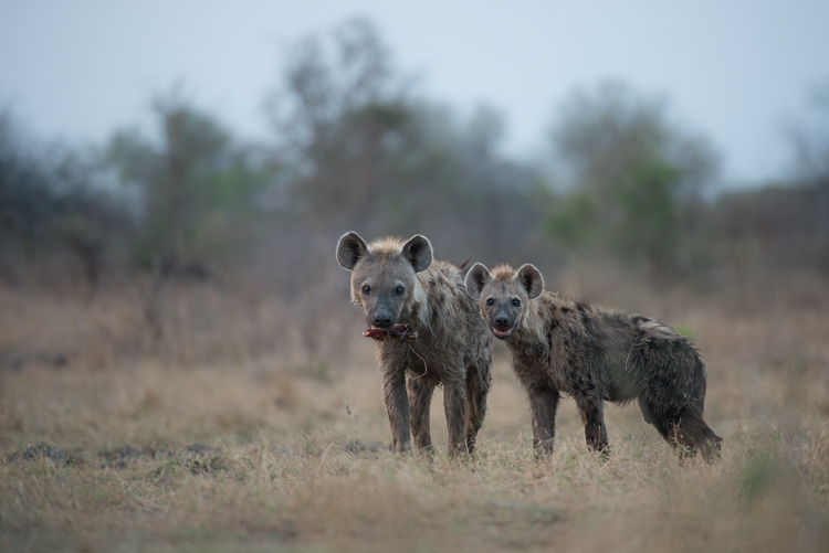 A young duo of hyena peer inquisitively in our direction.