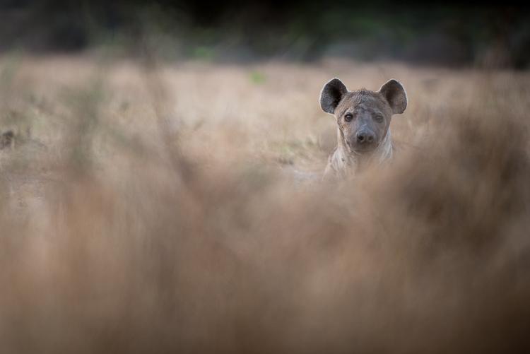 Ever alert Hyena.