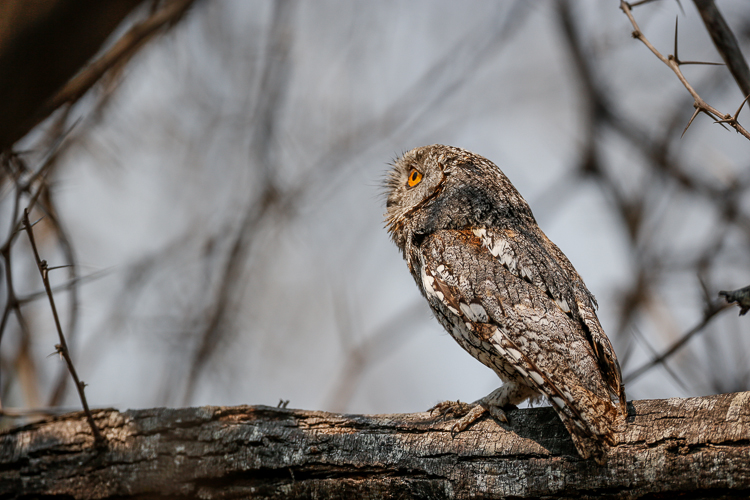 A beautiful African Scops owl in daylight hours.