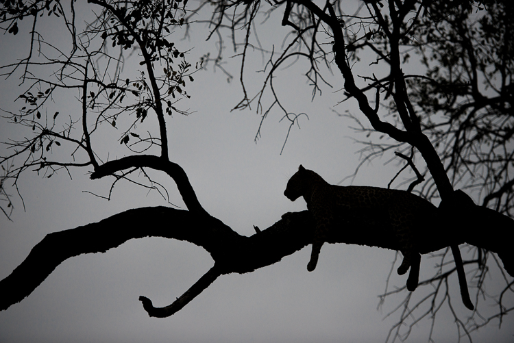 Silhouettes of a young leopardess.