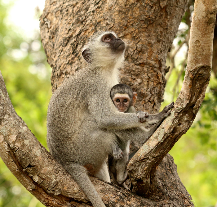 A vervet monkey and her youngster, a well recognised scenario around camp at the moment now that most of them have been born.