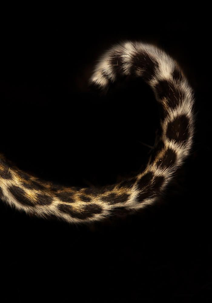 leopard-tail1