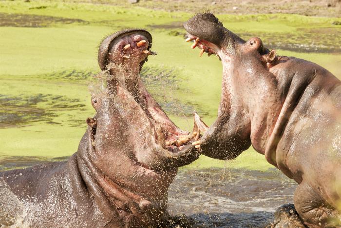 hippo20141109_001small