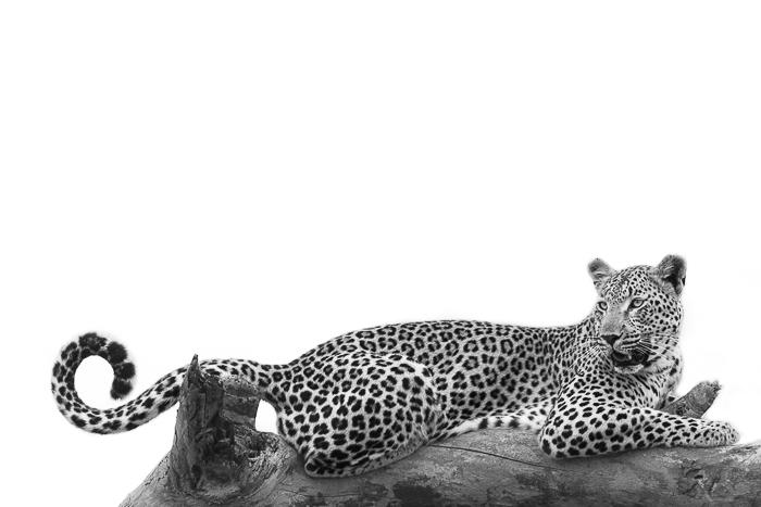 Tutlwa summer leopard