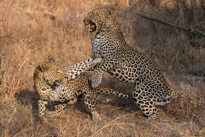 Tutlwa summer leopard-5