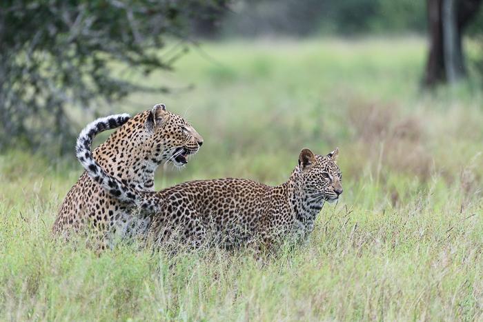 Tutlwa summer leopard-4