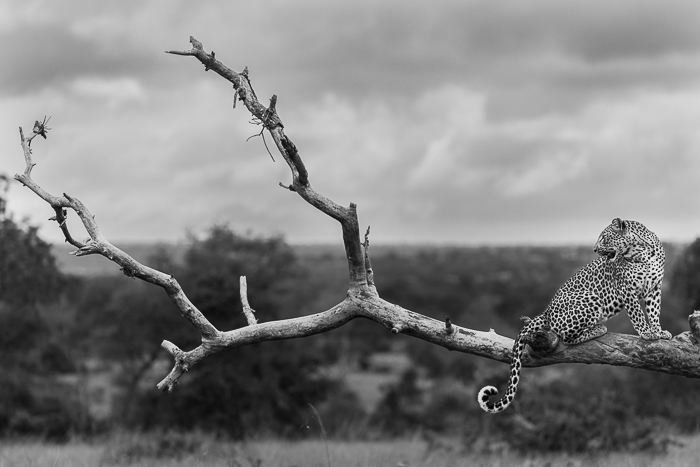 Tutlwa summer leopard-3