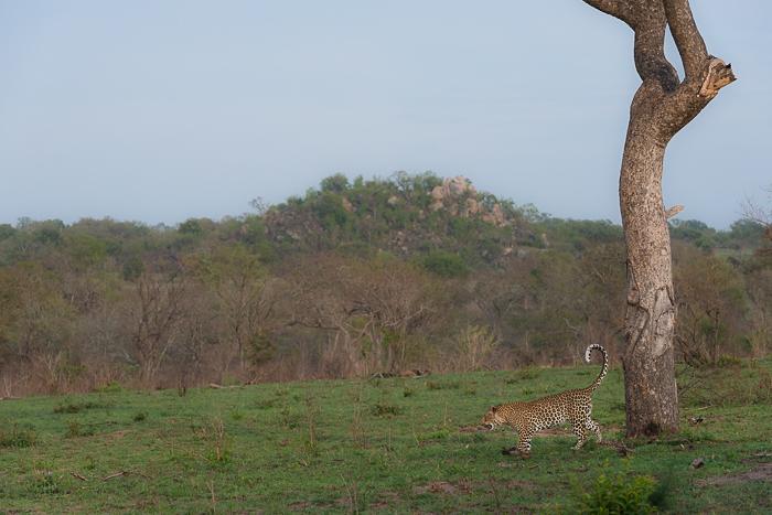 Tutlwa summer leopard-2