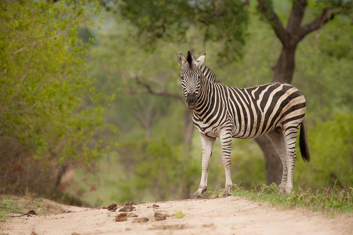 A zebra stand out with its black and white coat against the variegated greens of the bushveld.