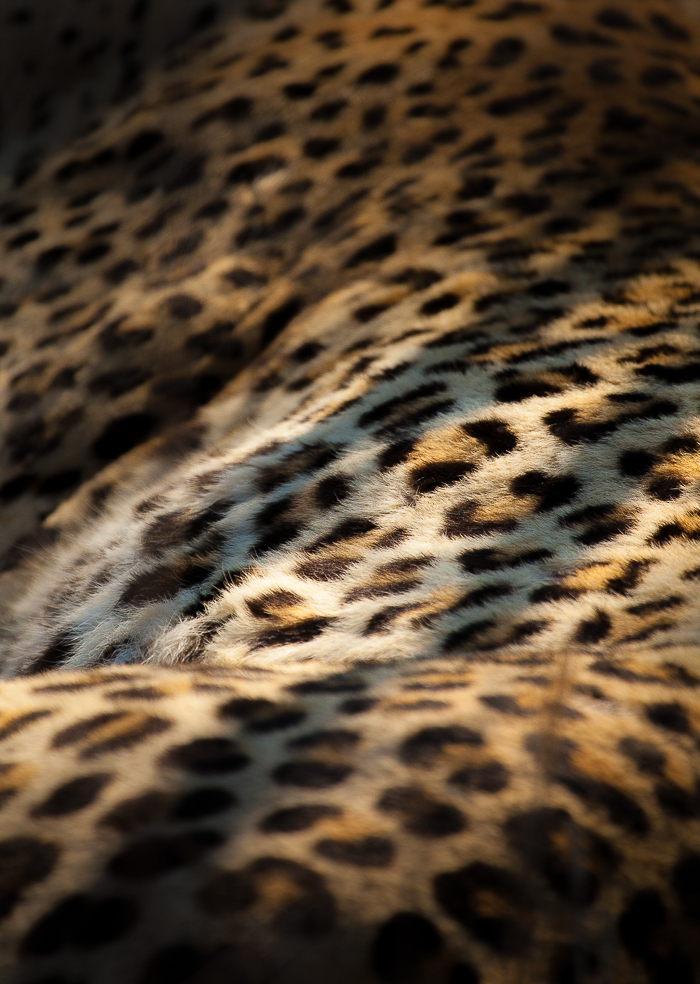 Shadows fall creating a dappled light on the coat of a leopard