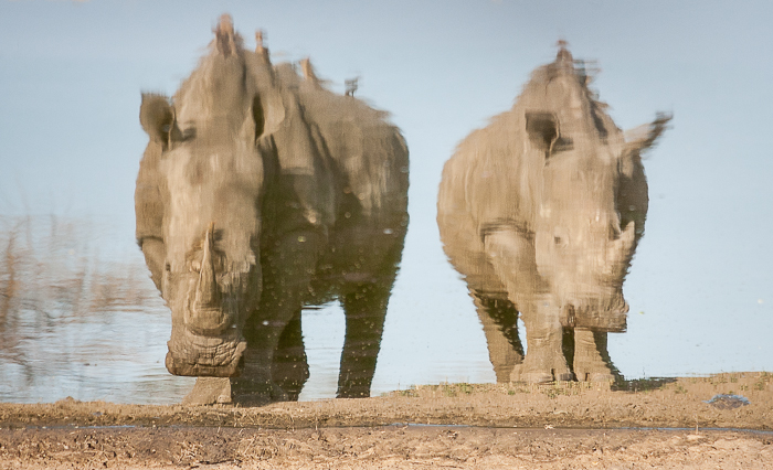 I had some fun capturing the reflection of these two rhinos