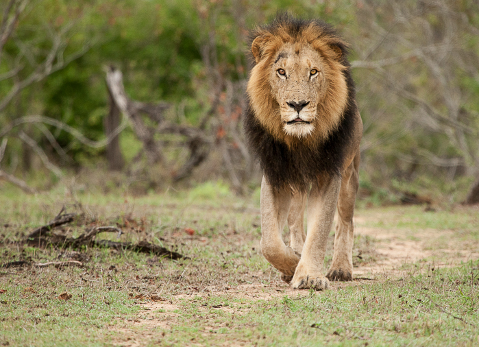 The Dark Mane Majingilane male strides towards us on an early morning patrol