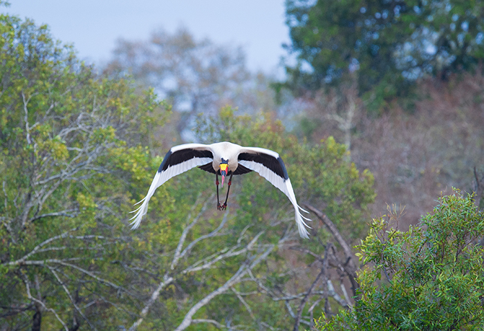 'And... I am off' – a saddle-billed stork is captured in flight