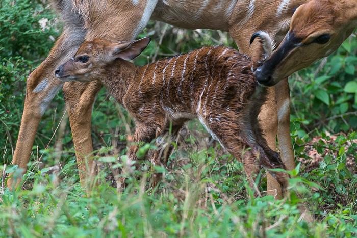 Nyala Birth