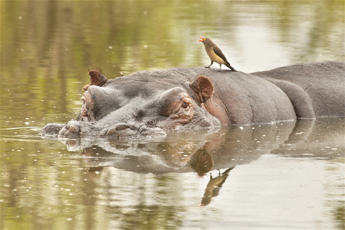 A hippo bull rests while a red-billed oxpecker shouts noisily from his back. These oxpeckers will often use the hippos as platforms from which they can drink.