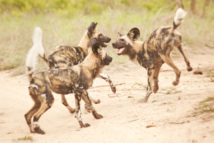 Wild dogs epitomise play and movement. They seem to have endless energy and time spent with them is always fun.