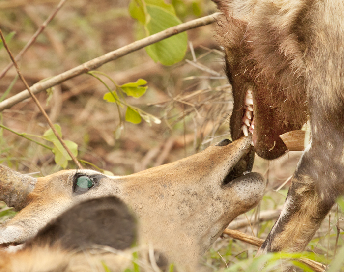 A wild dog grabs a recently caught Impala by its muzzle. Despite appearances, wild dog kills are in fact rather 'humane'. The pack tears at the stomach of the impala and it dies from shock and blood loss and because the pack eats so quickly, the process is much faster than the suffocation technique used by the big cats.