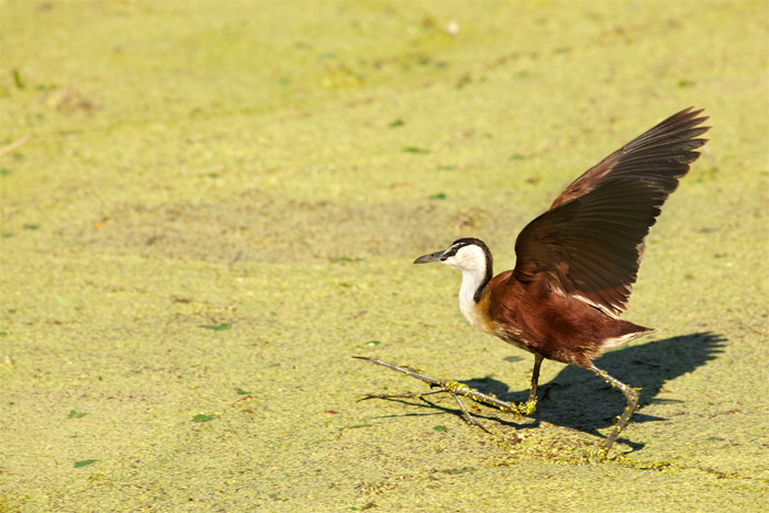 An African Jacana sprints across the algae stained water of Camp Pan. They have incredibly long toes and large feet, which enable them to run on vegetation and give them the nickname of 'the Jesus bird' or 'lily trotter'. Amy Attenborough