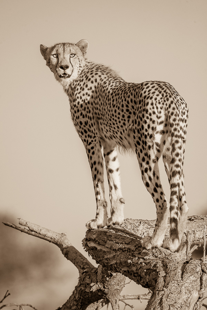 female cheetah 2