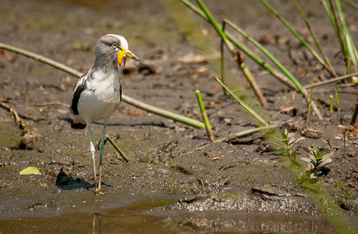 white-crowned lapwing