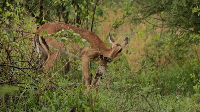 blog.impala-birthing