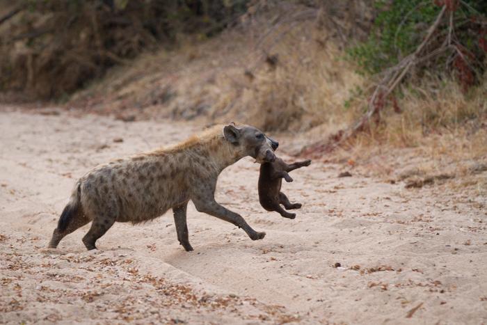 HyenaCubCarry