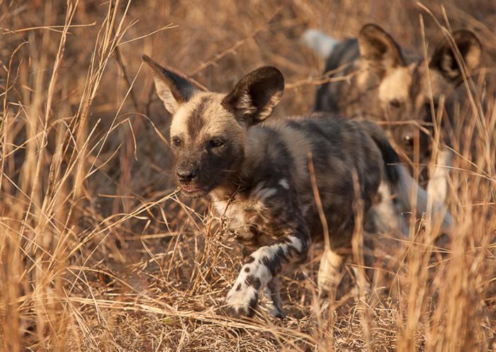 wilddog-puppy