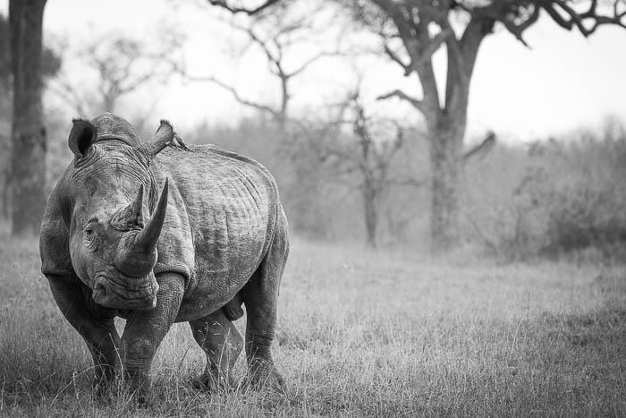Rhino Ambassador