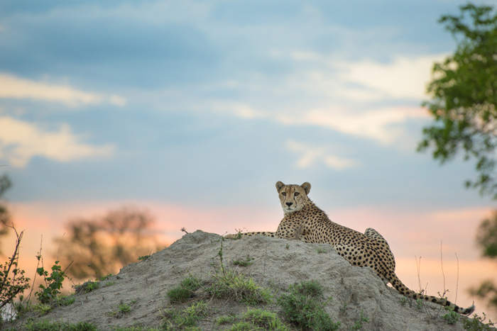 One of my favourite photos is this one of the male cheetah perched on a termite mound at sunset