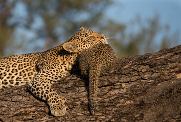 The Nanga Female finds a use for one of her cubs – the perfect chin rest!