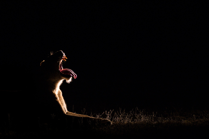 Another yawn from a Sparta female as she prepares for a night on the hunt. The use of side-light from another vehicle helps achieve this effect