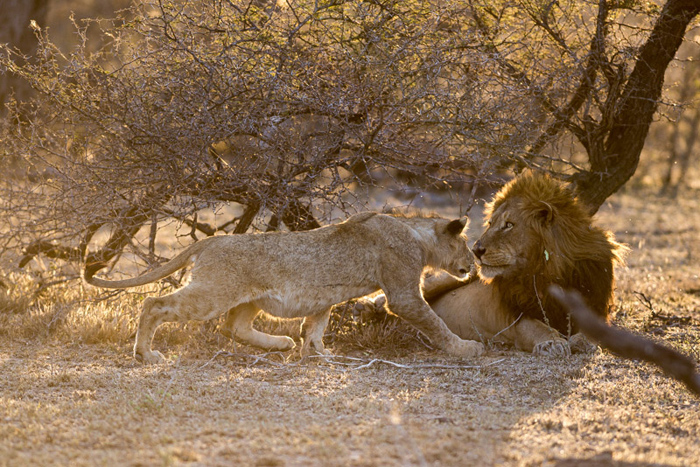 A brave young male subadult from the Sparta Pride approaches on of the Majingilane males – in time the males won't be so receptive to this and will drive the young males out of the area.