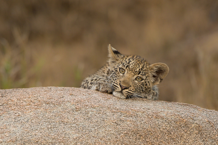 A lot of a young leopard cubs early life is spent waiting around for mom!