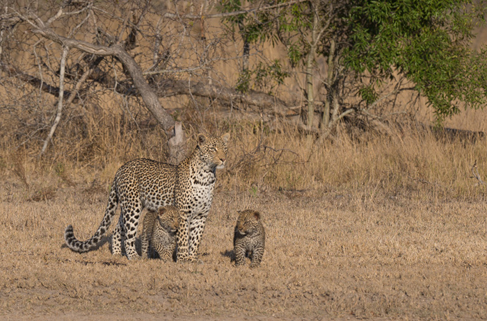 Leopards are usually associated with thick bush and obscured views – we were fortunate one day to encounter the Nanga female and her two cubs crossing a clearing in good light.