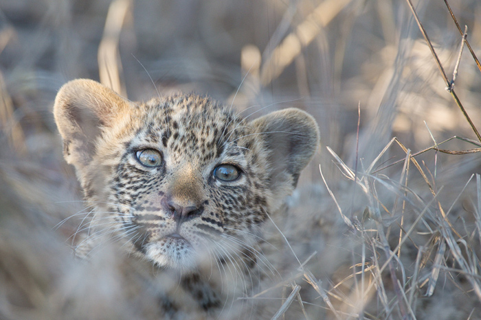 One of the Nanga cubs peers inquisitively out of the long grass