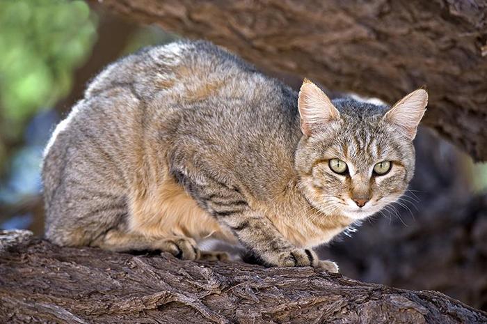 african-wildcat-tony-camacho