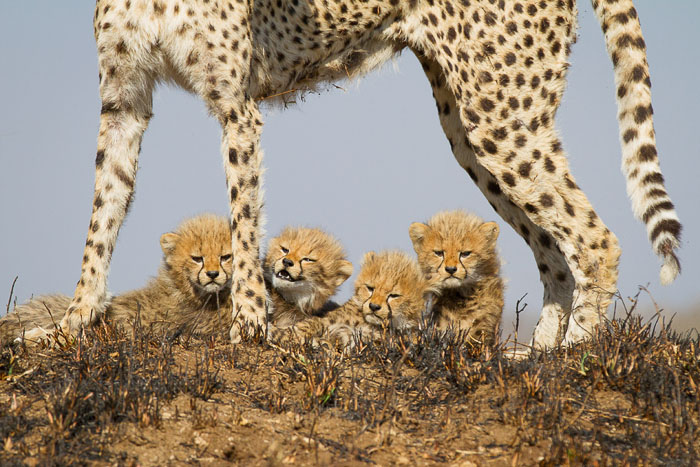 Cheetah-Family-2-of-5